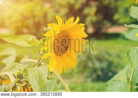 Field Of Bright Sunflowers In Summer In August In Moscow In Kolomenskoye, Bumblebee Collects Pollen