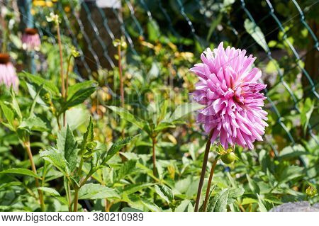 Dahlia Flower Called Dahlia Sylvia, Grown In A Garden