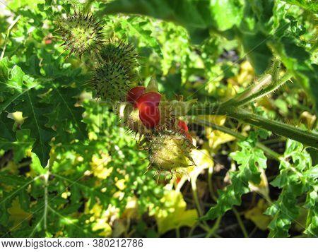 Litchi Tomato With Red Fruits, Solanum Sisymbriifolium