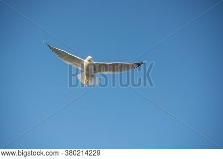 Seabird Seagull Is Flying In Sky As Freedom Concept