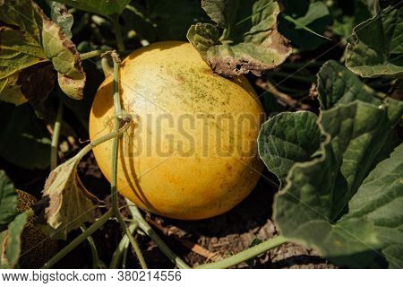 Ripe Melon On The Field.yellow Melons In The Field. Harvest Melons In Agricultural Land.