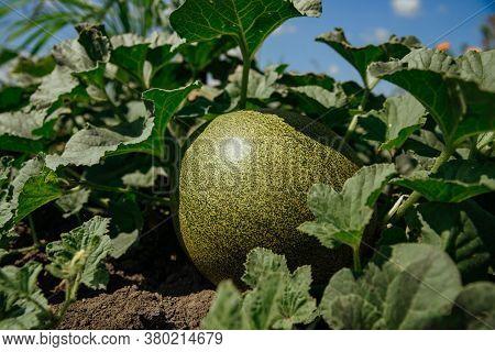 Green Melon Growing In The Field. Unripe Melon.