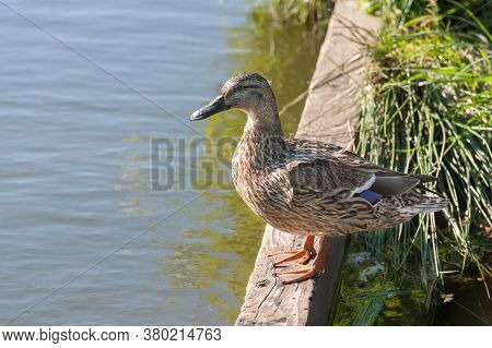 Closeup Of A Female Mallard Duck At The Waters Edge