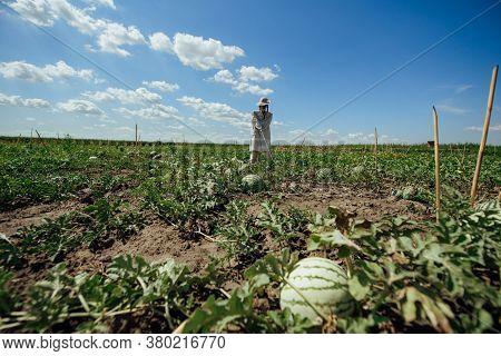 Watermelon Field On A Summer Day. Watermelon Plantation.