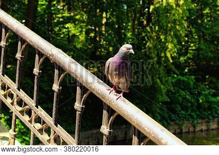 Lonely Pigeon With Beautiful Plumage Perched On Metal Fence Of The Chinese Bridge Bridge In The Arbo