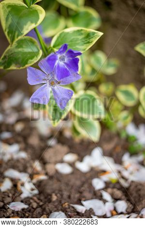 Myrtle Periwinkle Flowers In The Field Isolated With Blurred Background
