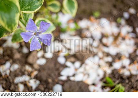 Myrtle Periwinkle Flower In The Field Isolated With Blurred Background