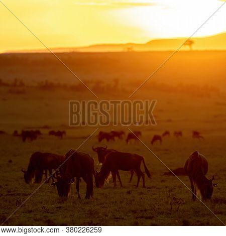 Caption/Desc White-bearded wildebeest, connochaetes taurinus, walking and grazing in the open grasslands of the Masai Mara at sunset. Masai Mara National Park, Kenya.