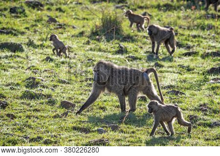 Troupe of olive baboons, Papio anubis, walking through the green grassland of the Masai Mara, kenya, in afternoon sunshine.
