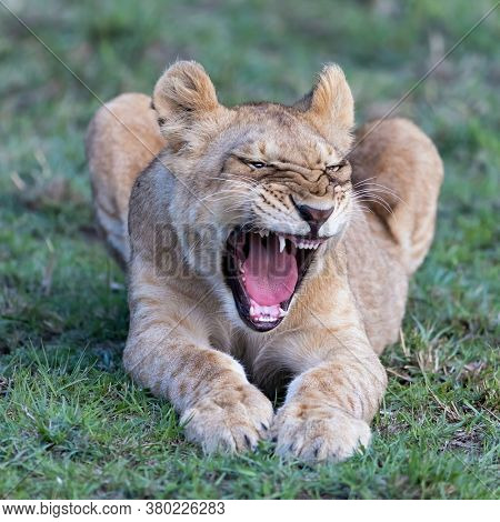 Lion cub, panthera leo, yawns and shows his teeth, Masai Mara, Kenya. Closeup front view with green grass background. Square format.