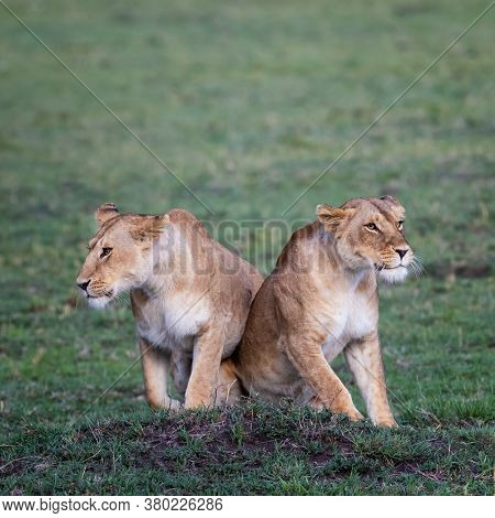 Two lionesses, panthera leo, together in the green grass of the Masai Mara. These young adult cats are sisters.