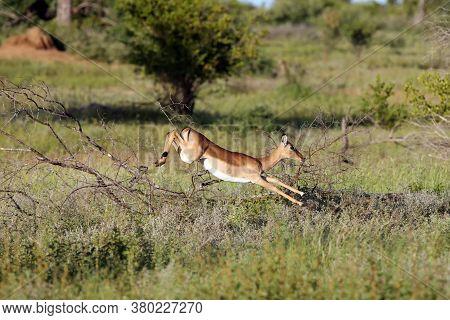 The Impala (aepyceros Melampus) Antelope Jumping Over Bushes. Antelope In Fast Running In The Savann