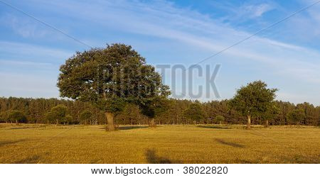 Chestnut Trees In Field In Golden Light