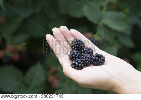 Beautiful Berry Blackberry In Hands. Picking Ripe Blackberry With Hands On The Farm. Blackberries In
