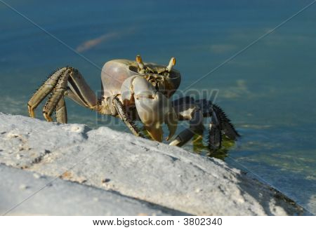 A big cuban ghost crab at the hotel pool poster