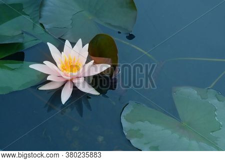 Beautiful water lily flower in the lake .Nymphaea reflection in the pond