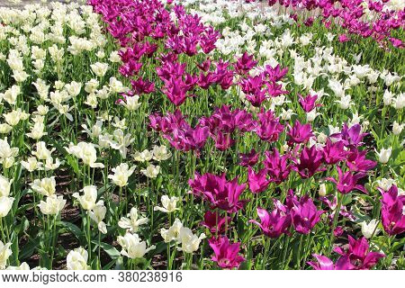 Lilac Red And White Tulips On Flower Bed In City. Springtime Garden. Red White And Lilac Tulips Plan