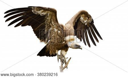 Griffon Vulture Landing On A Bough From Front View Isolated On White Background