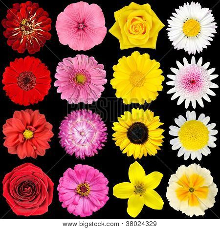 Big Selection of Various Flowers Isolated on Black Background. Red Pink Yellow White Colors including rose dahlia marigold zinnia strawflower sunflower daisy primrose and other wildflowers poster