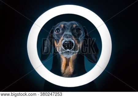 Spectacular Portrait Of Cute Blogger Dachshund With Cell Phone Stand With Led Ring Light, Shot In Da