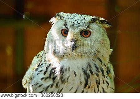 Beautiful Shot Of A Bird Of Prey - Great Eagle Owl.(bubo Bubo Sibiricus)