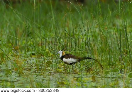 Pheasant Tailed Jacana Or Hydrophasianus Chirurgus In Wetland Of Keoladeo National Park Or Bharatpur