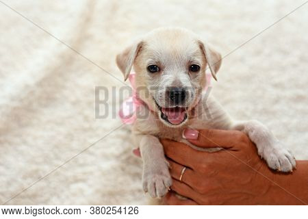 A Puppy With A Pink Ribbon Around Its Neck Raised Its Legs Up. Puppy On A Light Background