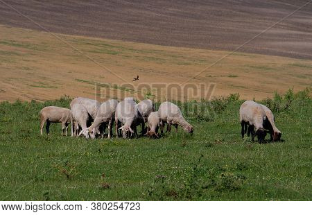 Flock Of Sheep Graze On A Green Lawn Against The Backdrop Of Farmland