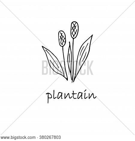 Plantain Plant Sketch. Hand Drawn Ink Art Design Object Isolated Stock Vector Illustration For Web,