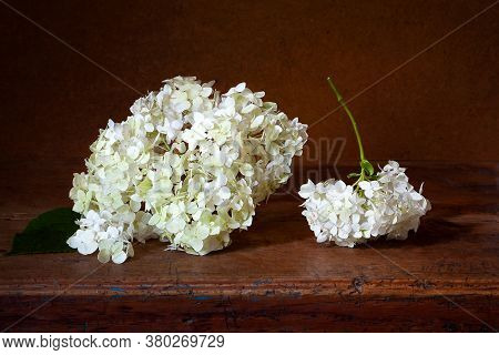 Hydrangea On A Wooden Table. Hydrangea Inflorescences On A Dark Background. Still Life With Flowers