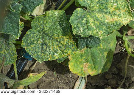 Peronosporosis Of Cucumber, Or Downy Mildew. Fungal Disease Of Cucumbers.