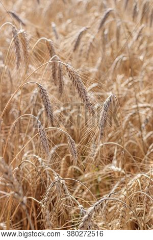 Wheat Field Background . Collection Of Field Crops. Rural Landscape. Background Of Ripening Wheat Ea
