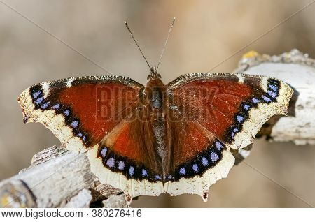 Mourning Cloak (nymphalis Antiopa) Butterfly Basking. Santa Clara County, California, Usa.
