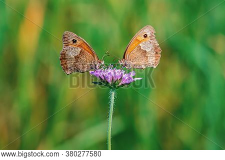 Macro Picture Of Two Butterflies Standing On A Flower