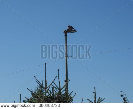 Common Wood Pigeon (scientific Name Columba Palumbus) On A Light Pole Over Blue Sky