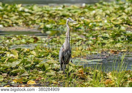 Great Blue Heron Is Watching You From The Wetlands