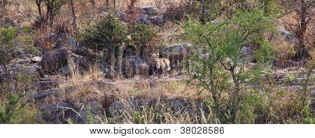 Lion on the Rocks