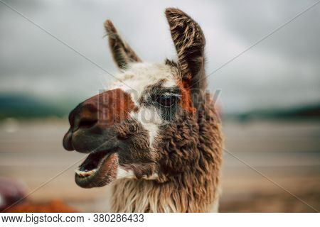 Lama Or Guanaco Lughing At Highlands In Bolivia