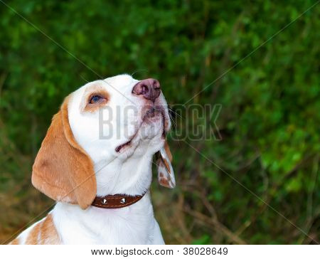 Beagle In A Field Looking Up