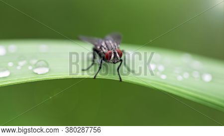 black fly with red faceted eyes on a leaf, macro photography. When seen so close, this diptera insect doesnt look so ugly and repugnant. after the rain in the tropical jungle in Thailand