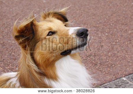 Sheltie Collie Dog