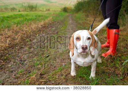 Beagle being walked on a lead in the field poster
