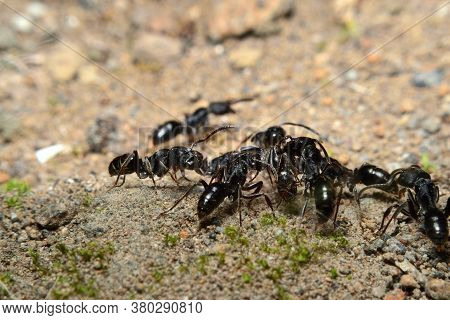 Black Garden Ant Activity. Also Known As The Common Black Ant. These Insects Usually Live In Colonie