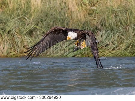 Eagle Flying With A Fish In Its Claws On The Water, Eagle Catching Fish