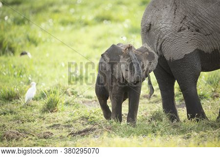 Baby Elephant And Cattle Egret Standing Near Elephant Mother In Amboseli Kenya