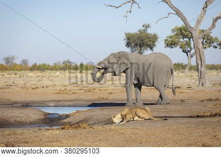 Elephant And Female Lion Drinking Water From A Waterhole In Chobe National Park In Botswana
