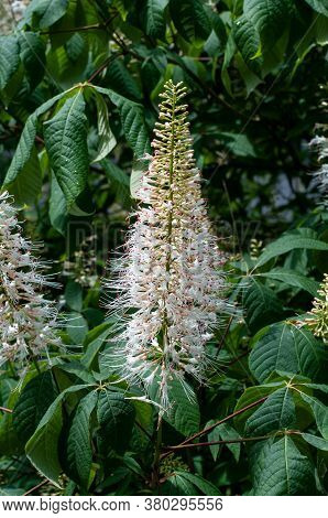 A White Panicle Shaped Flower Of Aesculus Parviflora Or Bottlebrush Buckeye In A Summer Garden