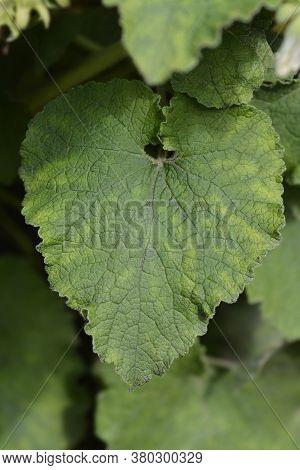 Woolly Bellflower Leaves - Latin Name - Campanula Lanata