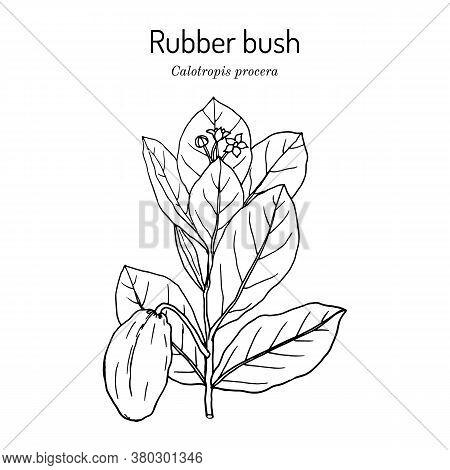 Rubber Bush, Or Sodom Apple, Stabragh, Kings Crown Calotropis Procera , Medicinal Plant. Hand Drawn