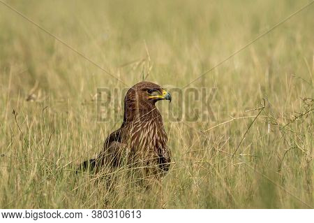 Greater Spotted Eagle Or Clanga Clanga Closeup In Open Grassland Of Tal Chhapar Blackbuck Sanctuary